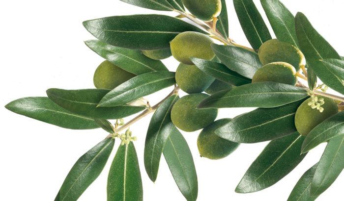Le foglie di olivo: un toccasana per la salute!